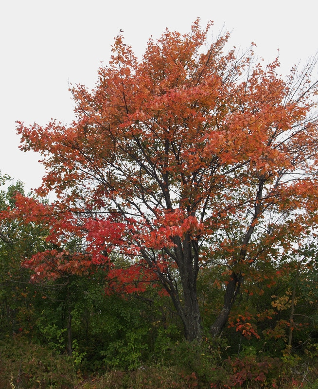Mountain Maple Acer Spicatum