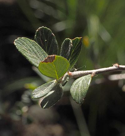Species Of Mountain Mahogany Cercocarpus