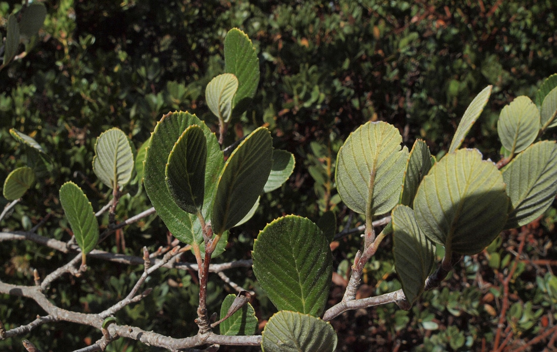 Catalina Mountain Mahogany Cercocarpus Traskiae