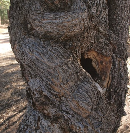 Arizona Oak - Quercus arizonica