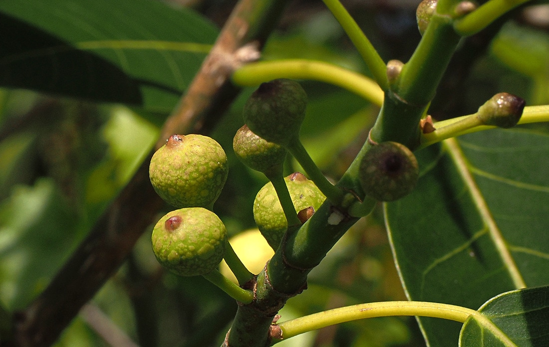 Shortleaf Fig - Ficus citrifolia