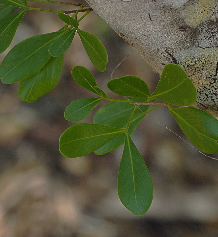 White Ironwood - Hypelate trifoliata