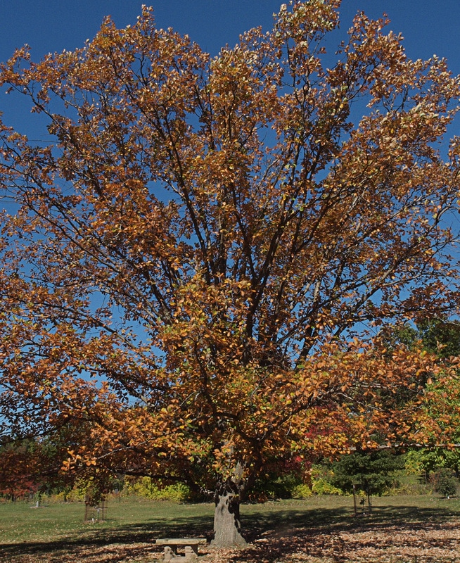 Swamp White Oak Quercus Bicolor