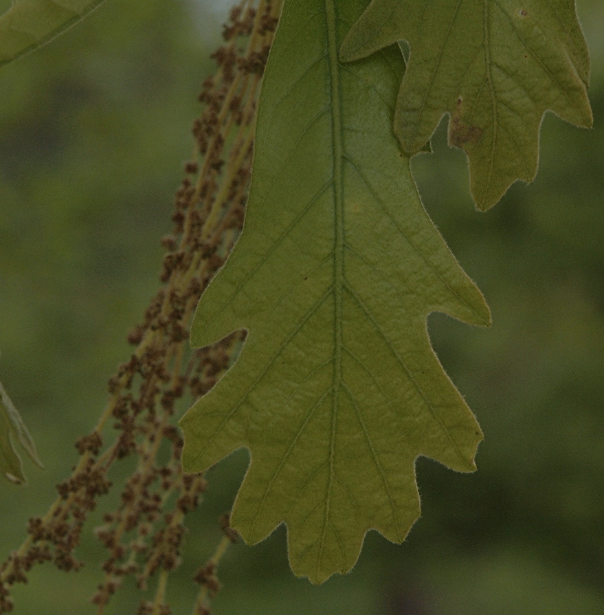 Hybrid Oak - Quercus x substellata