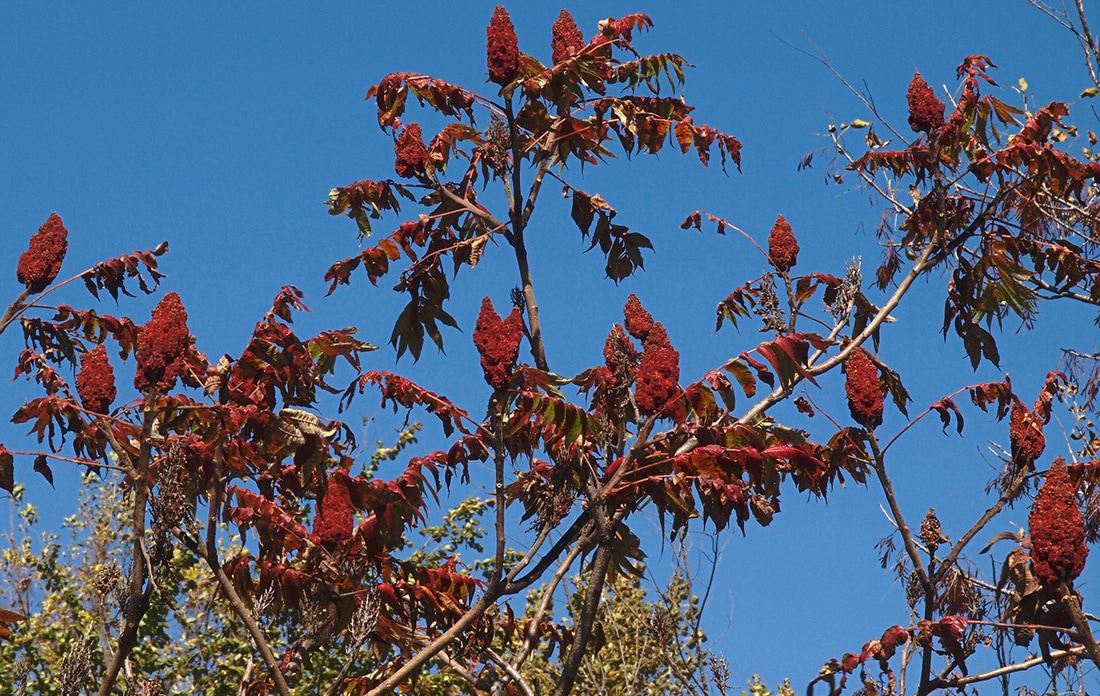 Staghorn Sumac - Rhus typhina