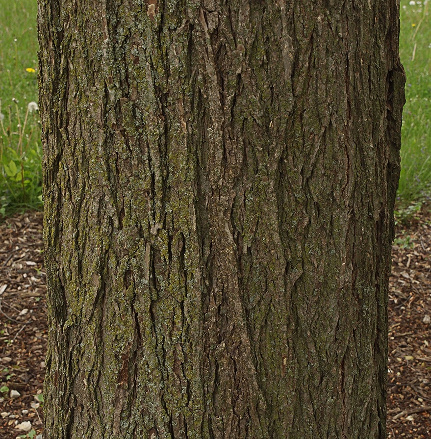 Rock Elm - Ulmus thomasii