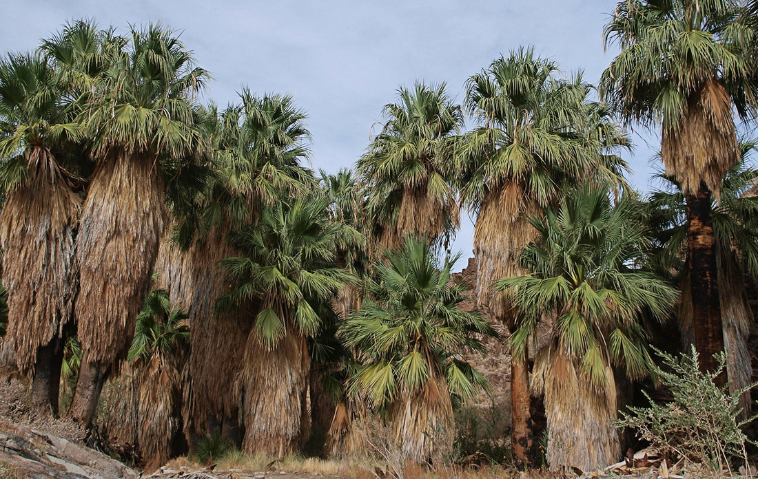 California Fan Palm - Washingtonia filifera